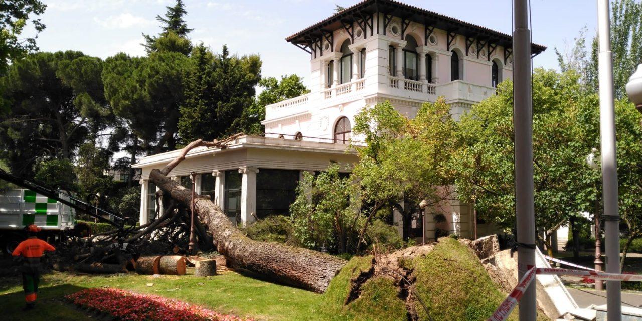 Dos pinos centenarios caen en la Junta de Hortaleza