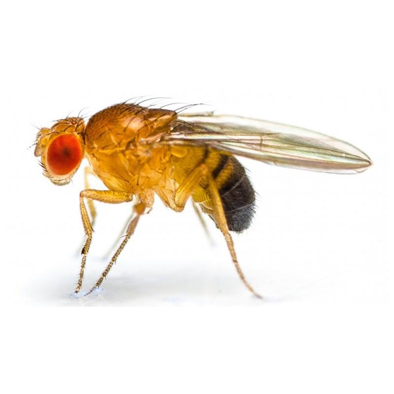 https://www.periodicohortaleza.org/wp-content/uploads/2020/05/drosophila-melanogaster.jpg