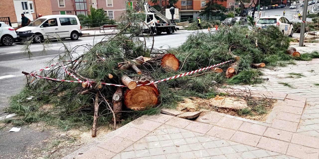 Pinar del Rey sigue perdiendo pinos
